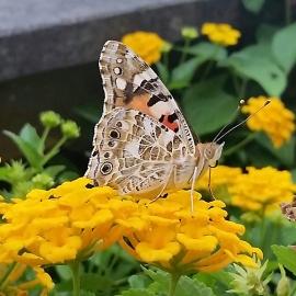 023_farfalla